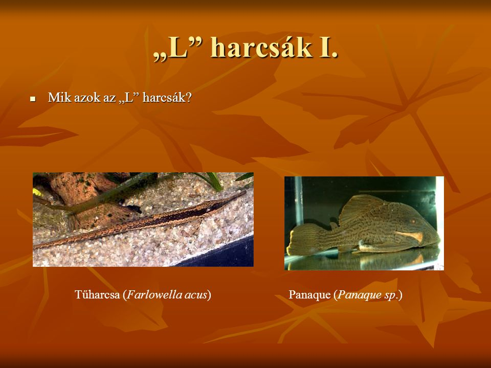 Tűharcsa (Farlowella acus)