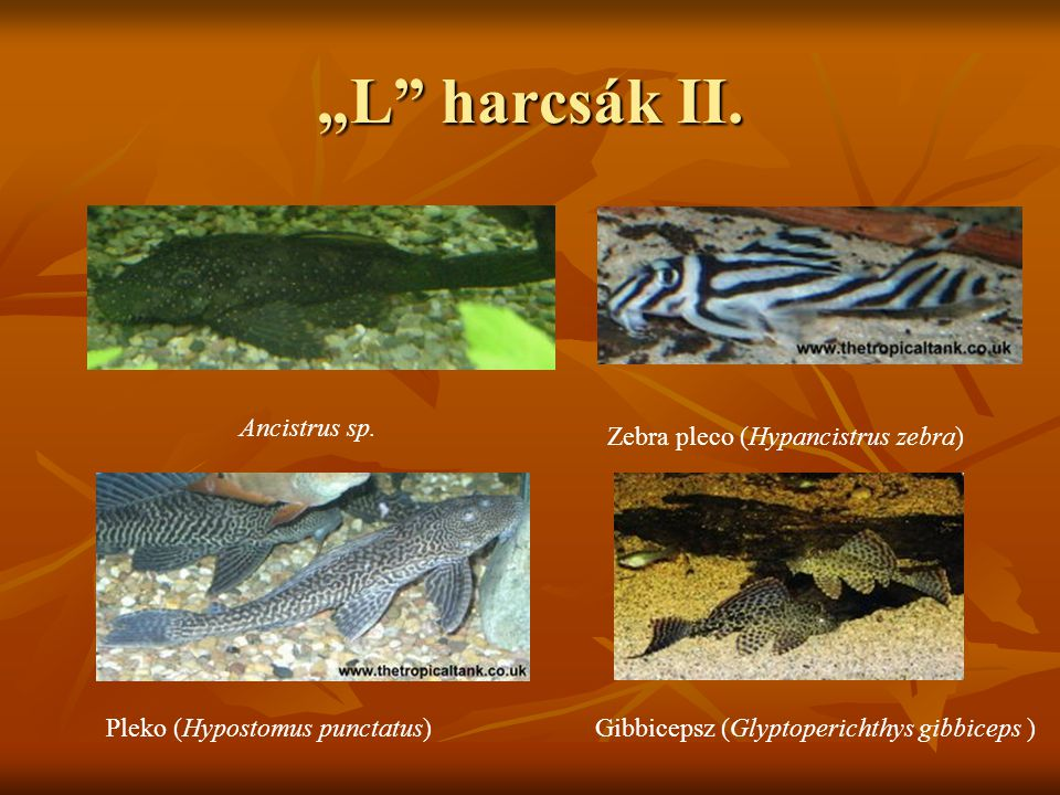 """L harcsák II. Ancistrus sp. Zebra pleco (Hypancistrus zebra)"