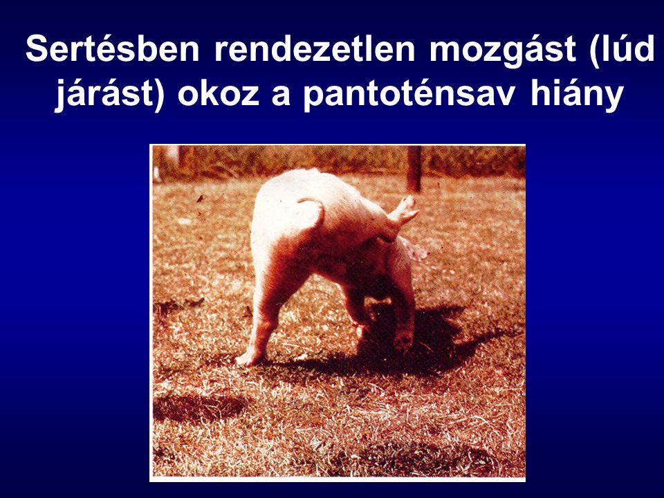 Sertésben rendezetlen mozgást (lúd járást) okoz a pantoténsav hiány