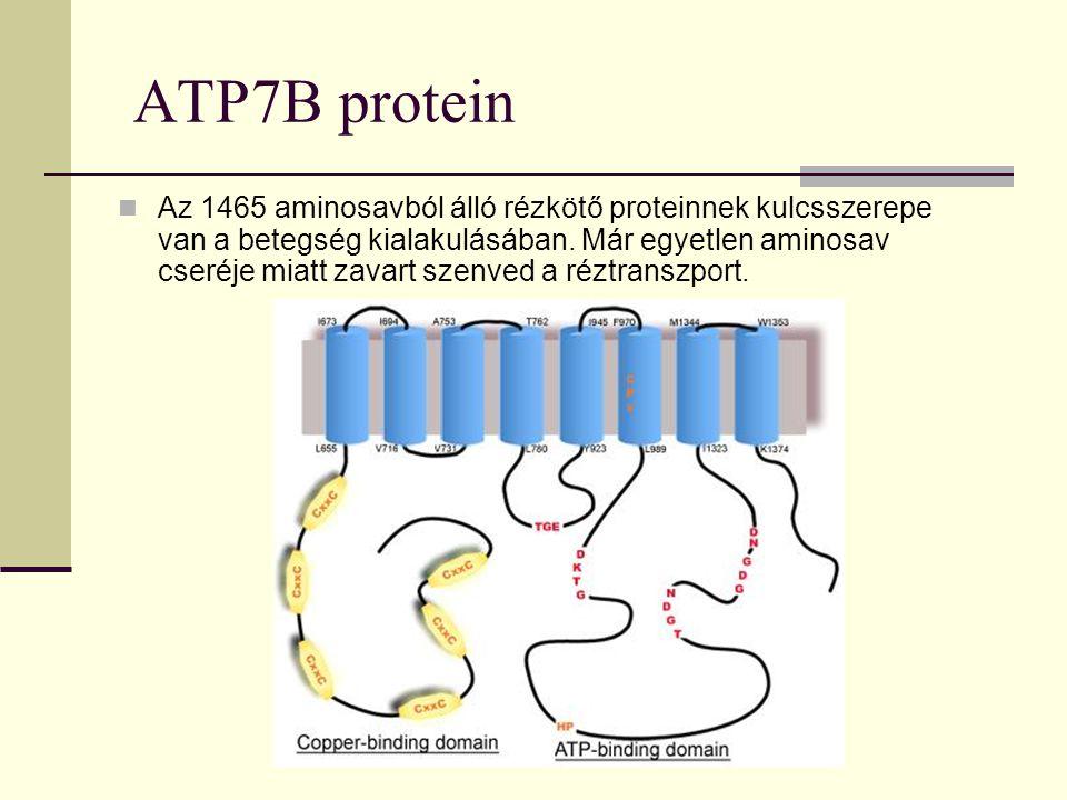 ATP7B protein