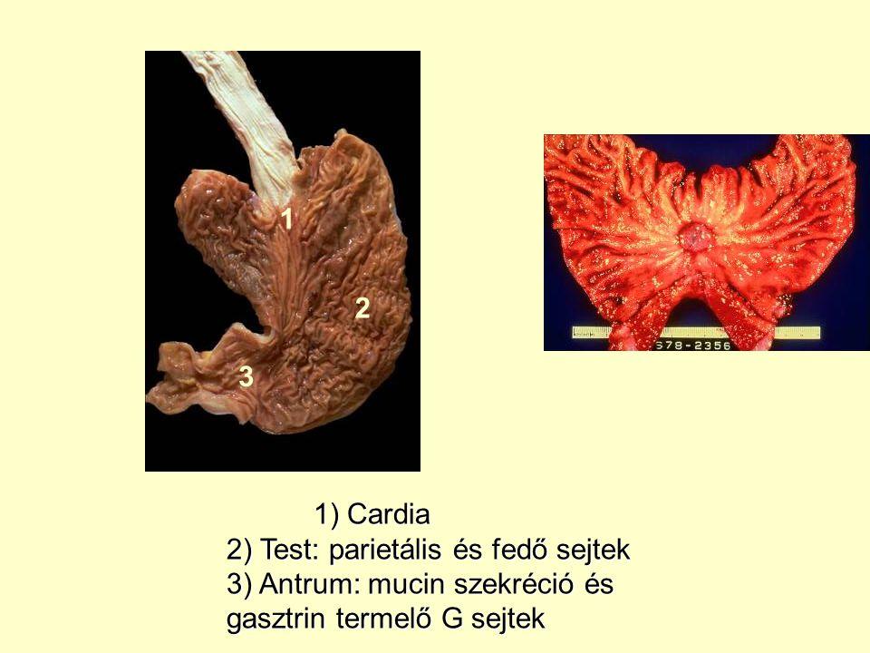 1 2. 3. 1) Cardia. 2) Test: parietális és fedő sejtek.