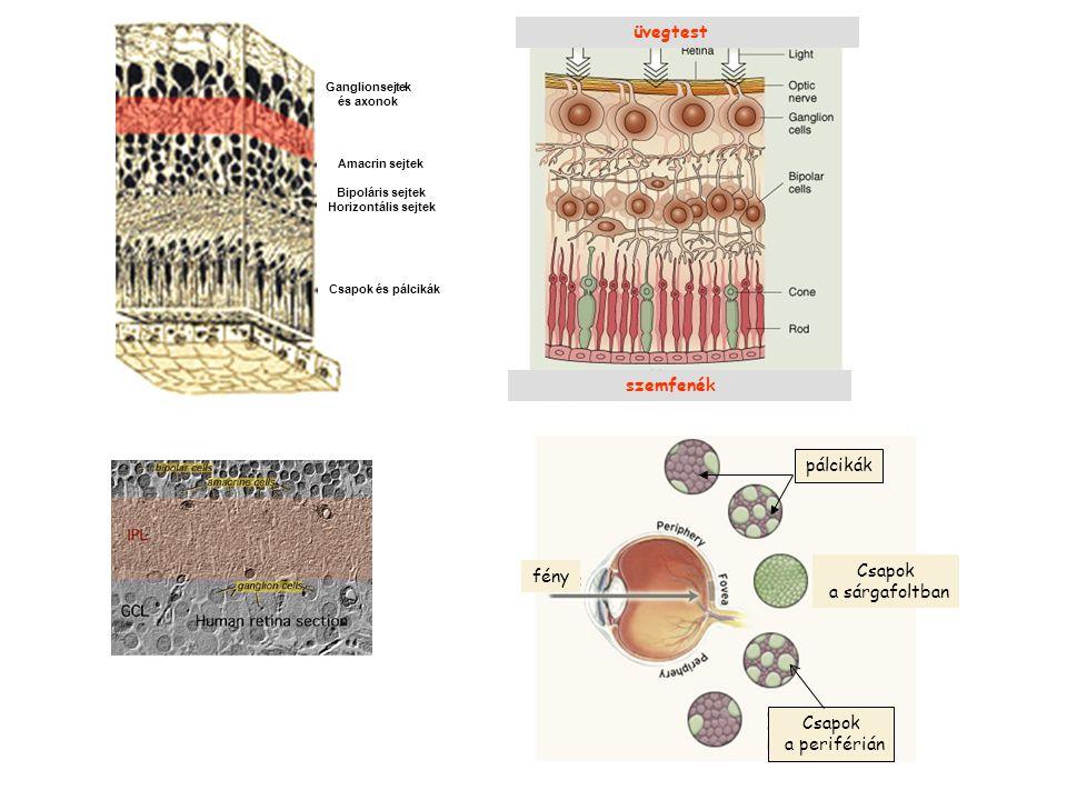 Ganglionsejtek és axonok