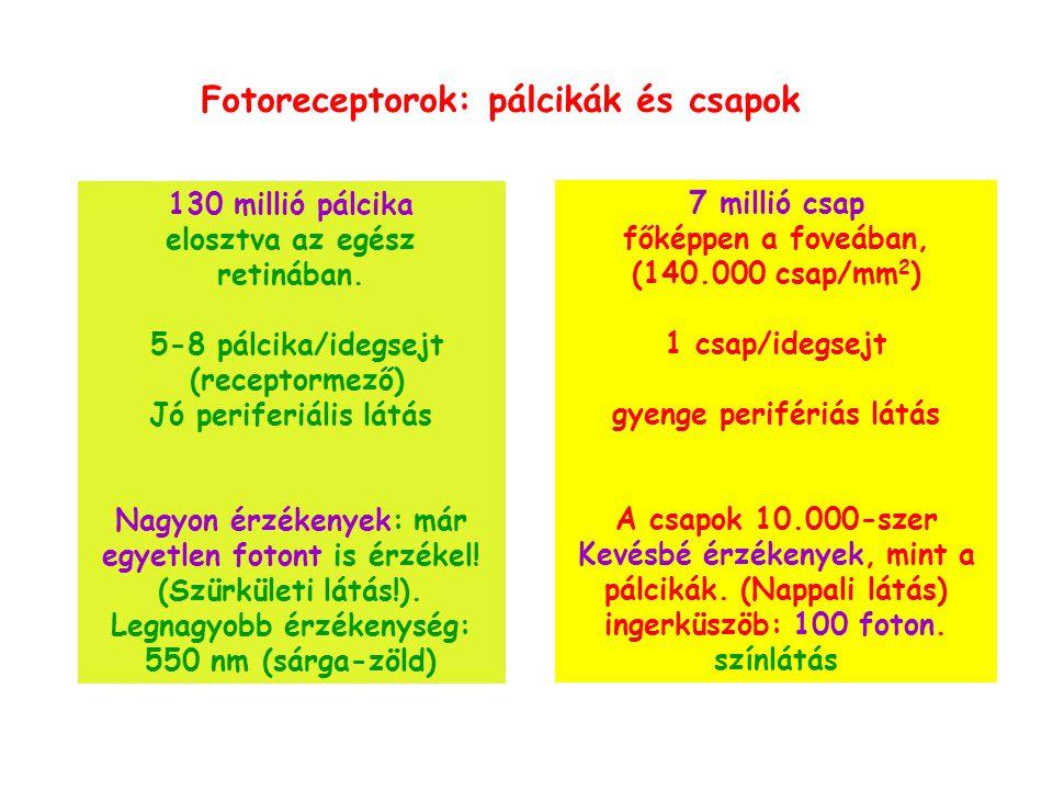 Fotoreceptorok: pálcikák és csapok
