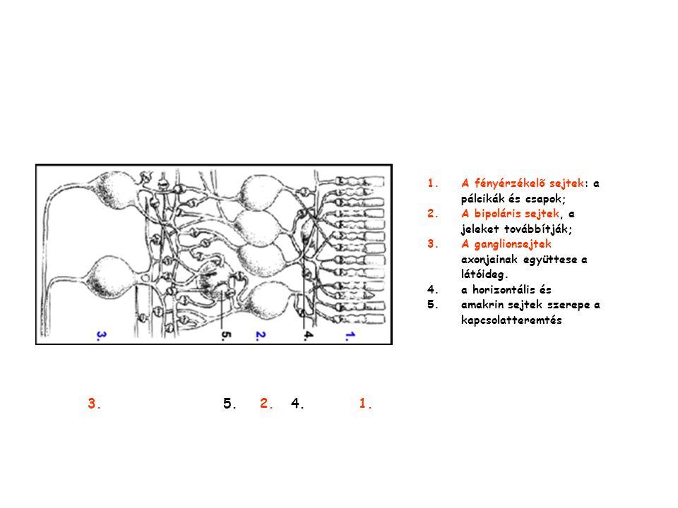 3. 5. 2. 4. 1. A fényérzékelõ sejtek: a pálcikák és csapok;