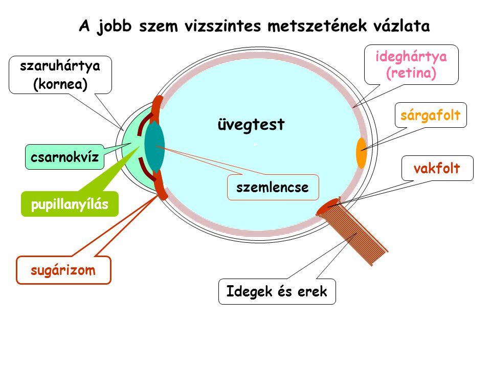 A jobb szem vizszintes metszetének vázlata