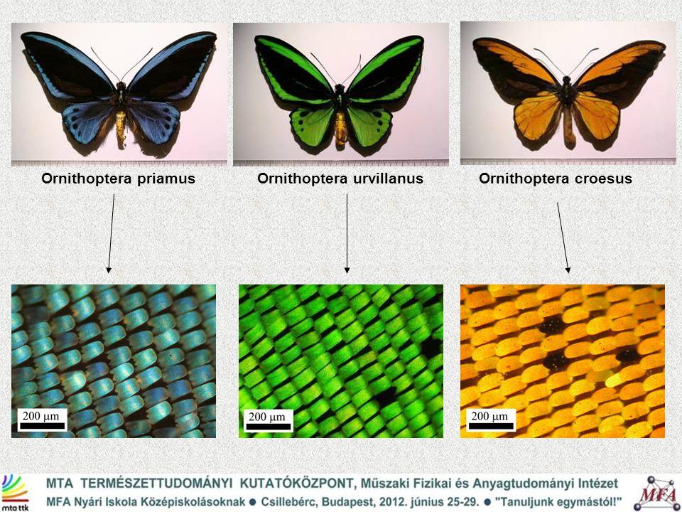 Ornithoptera priamus Ornithoptera urvillanus Ornithoptera croesus