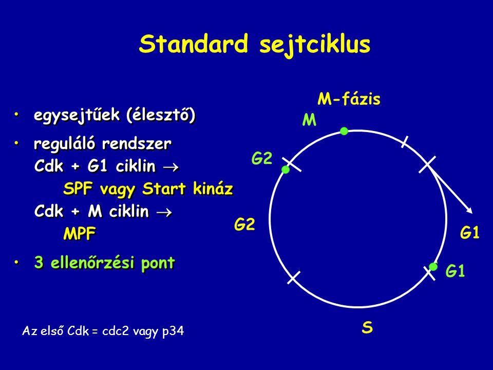 Standard sejtciklus M-fázis egysejtűek (élesztő) M reguláló rendszer
