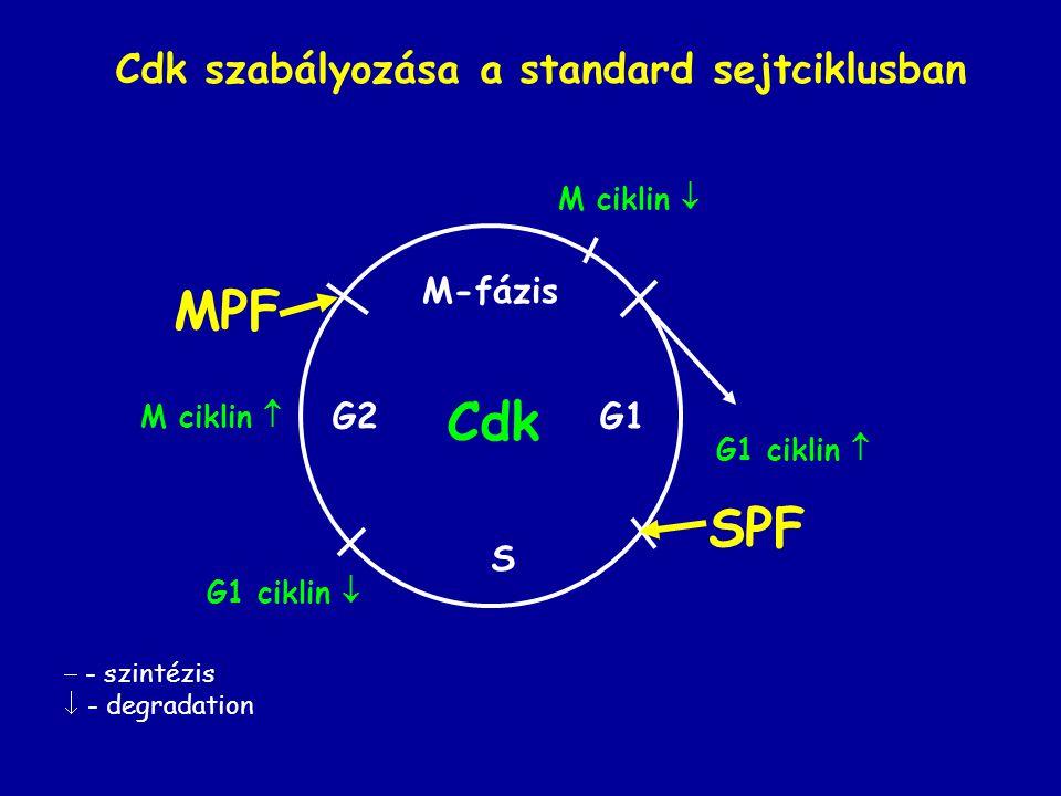MPF Cdk SPF Cdk szabályozása a standard sejtciklusban M-fázis G2 G1 S