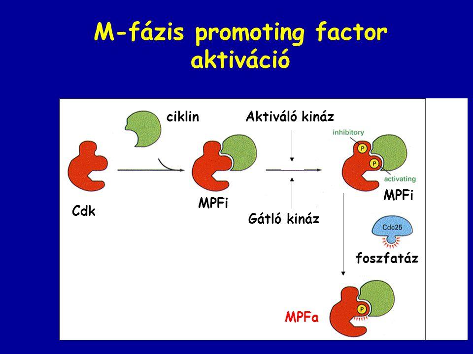 M-fázis promoting factor aktiváció