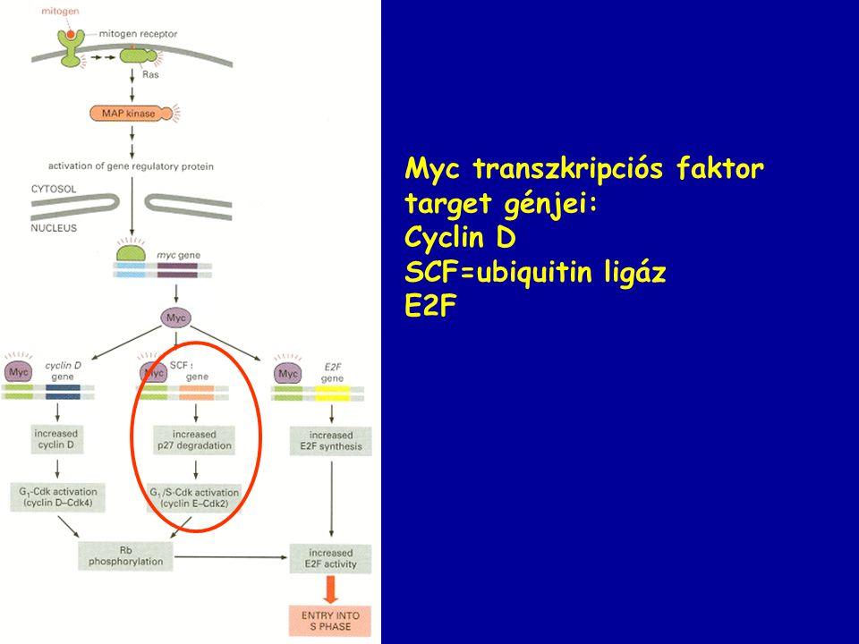 Myc transzkripciós faktor