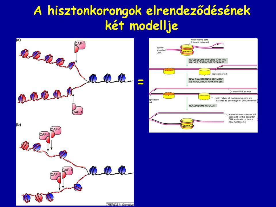 A hisztonkorongok elrendeződésének két modellje