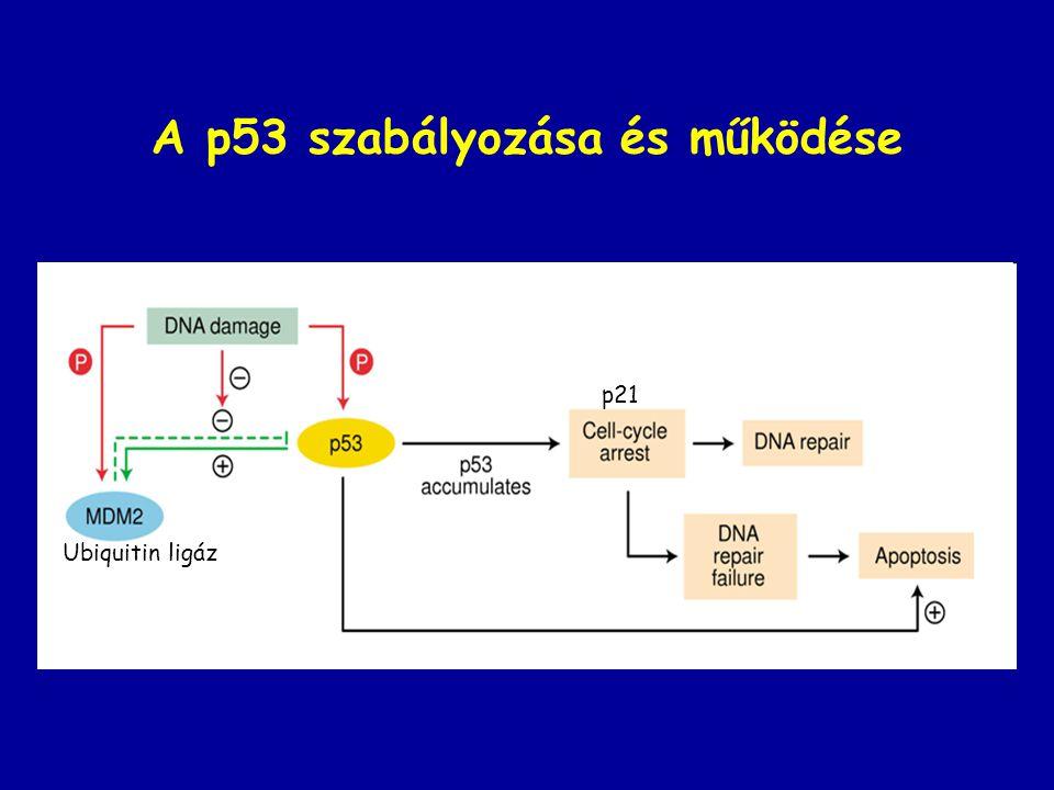 A p53 szabályozása és működése