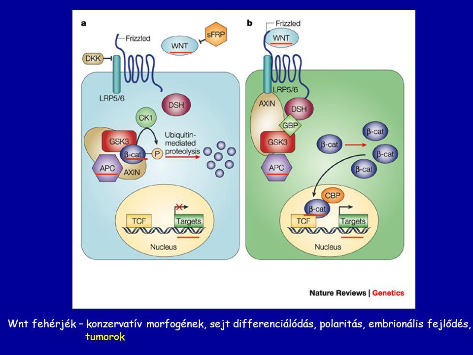 Wnt fehérjék – konzervatív morfogének, sejt differenciálódás, polaritás, embrionális fejlődés,