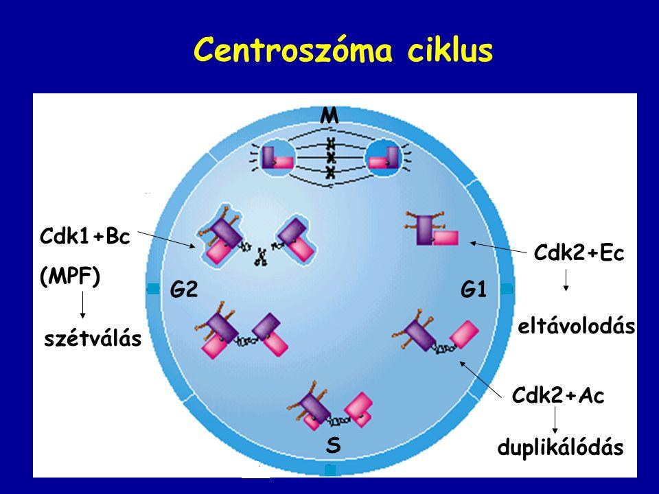 Centroszóma ciklus M Cdk1+Bc (MPF) Cdk2+Ec G2 G1 eltávolodás szétválás