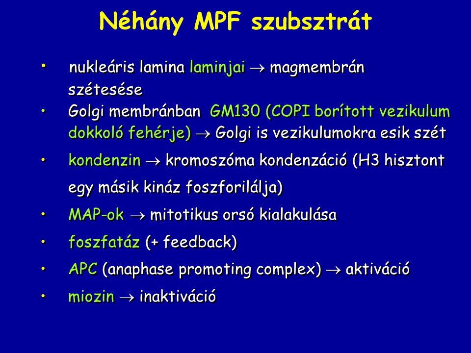 Néhány MPF szubsztrát nukleáris lamina laminjai  magmembrán szétesése
