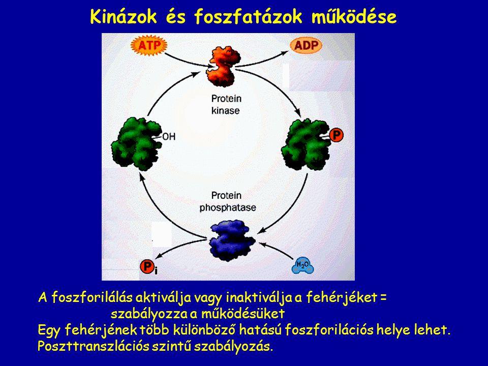 Kinázok és foszfatázok működése