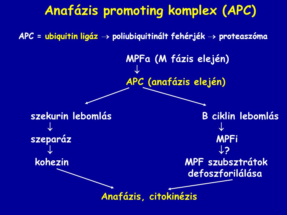 Anafázis promoting komplex (APC)