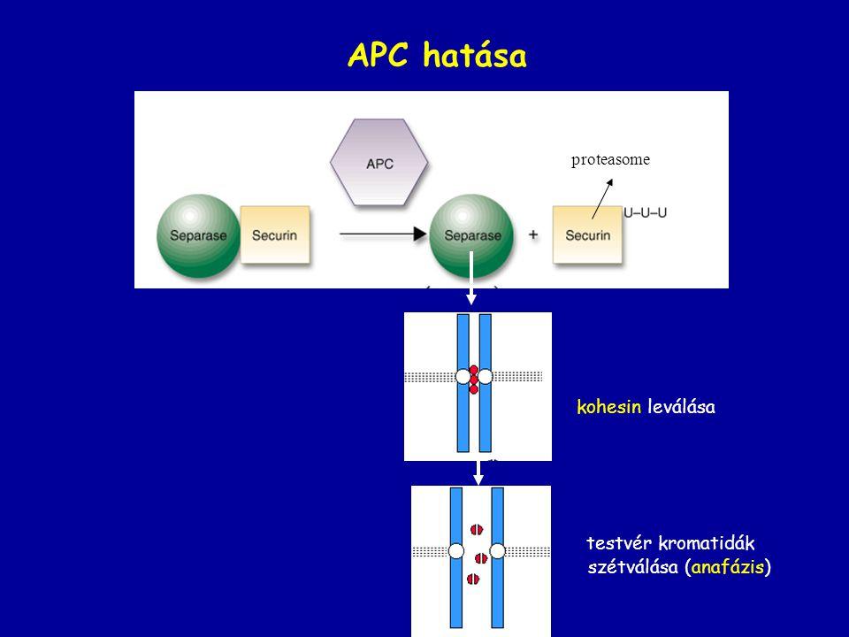 APC hatása kohesin leválása testvér kromatidák szétválása (anafázis)