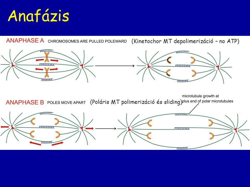Anafázis (Kinetochor MT depolimerizáció – no ATP)