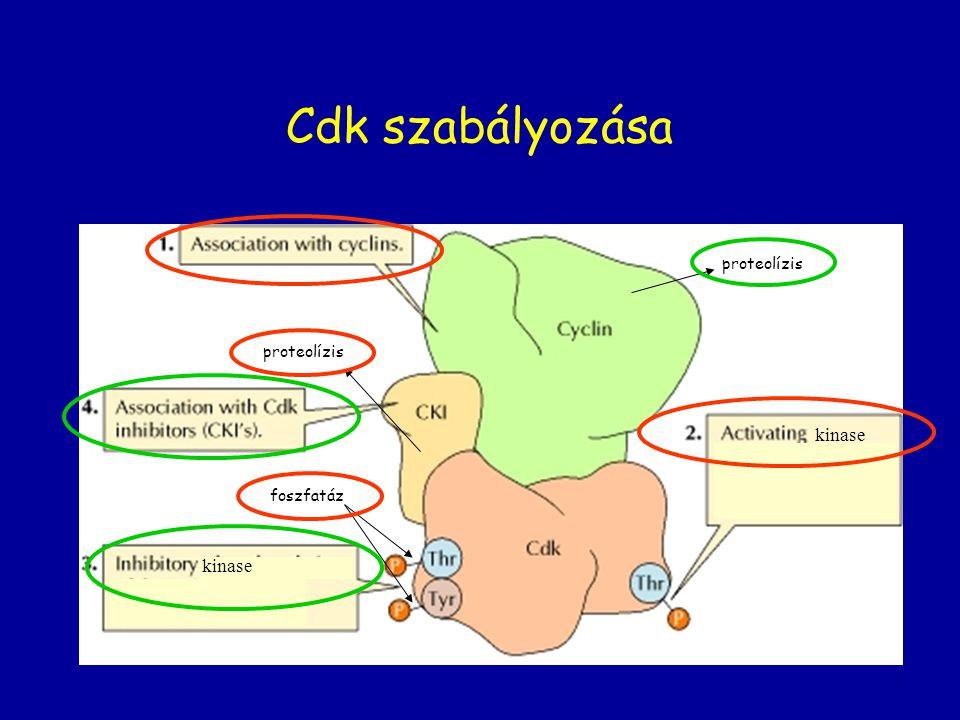 Cdk szabályozása proteolízis proteolízis kinase foszfatáz kinase