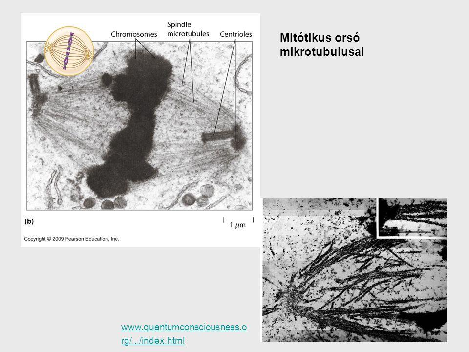 Mitótikus orsó mikrotubulusai