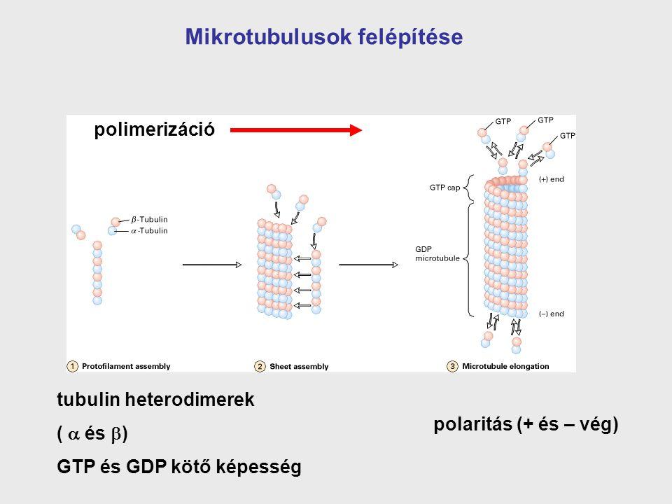 polaritás (+ és – vég) polimerizáció tubulin heterodimerek (  és )