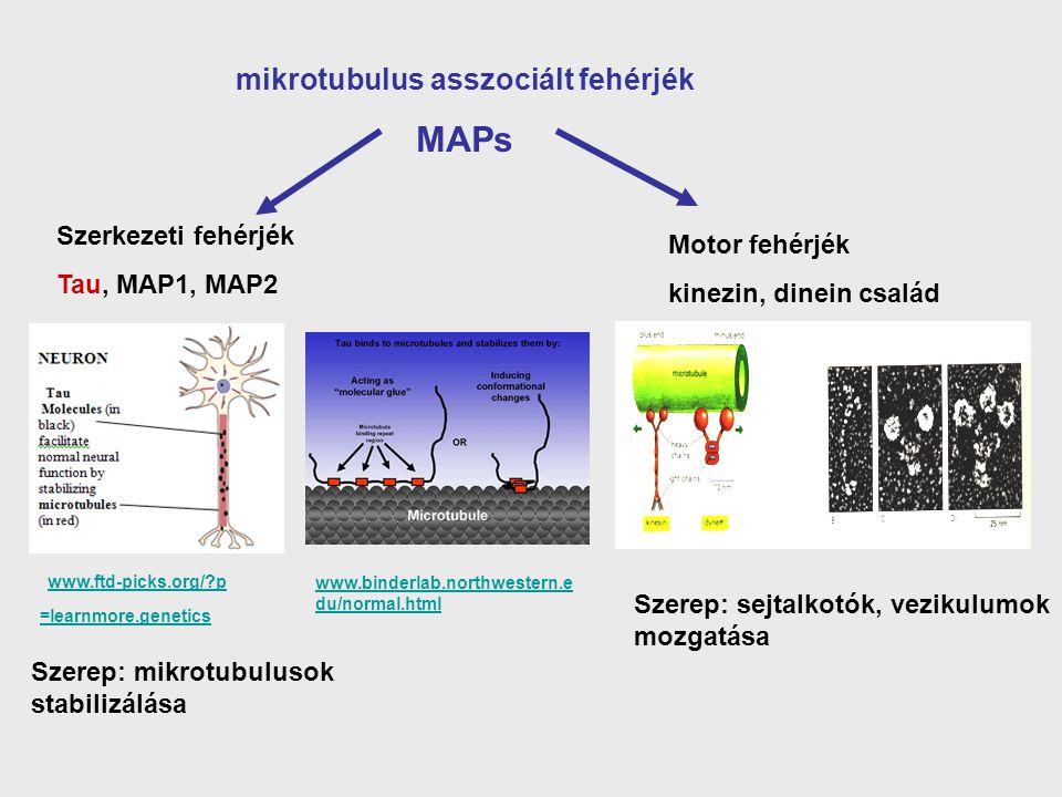 mikrotubulus asszociált fehérjék