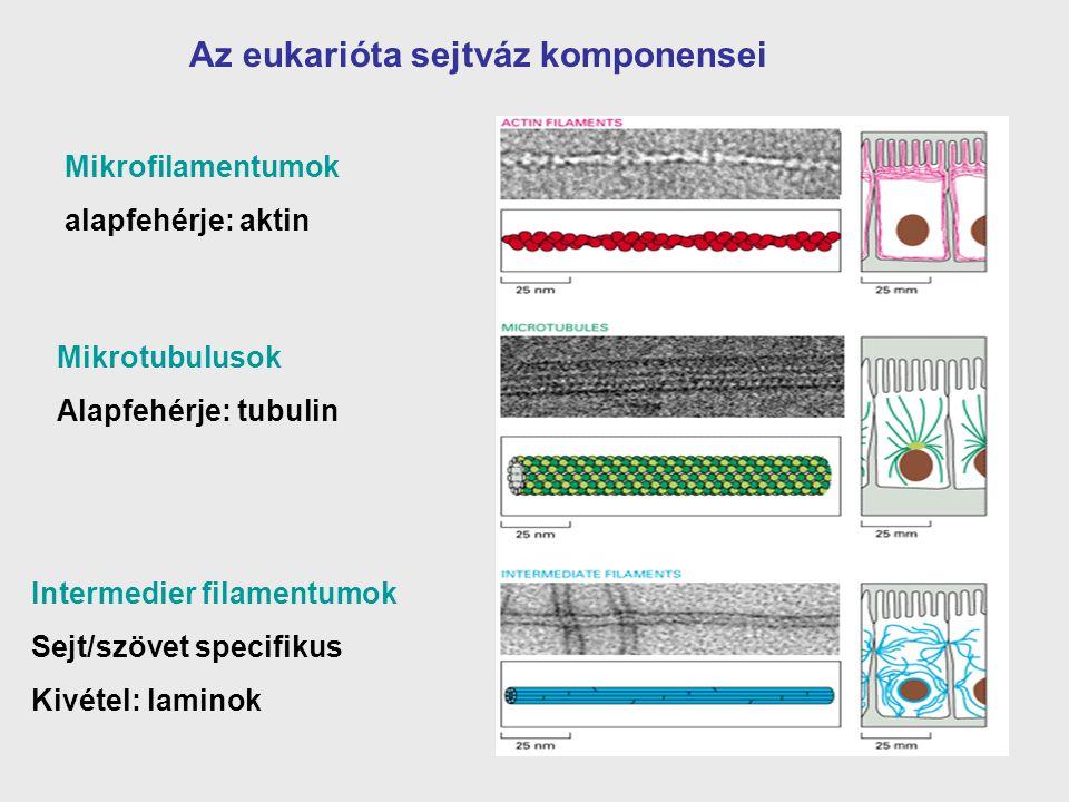 Az eukarióta sejtváz komponensei