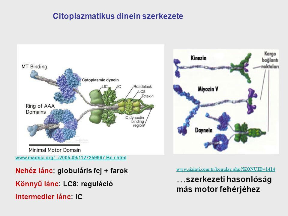 Citoplazmatikus dinein szerkezete