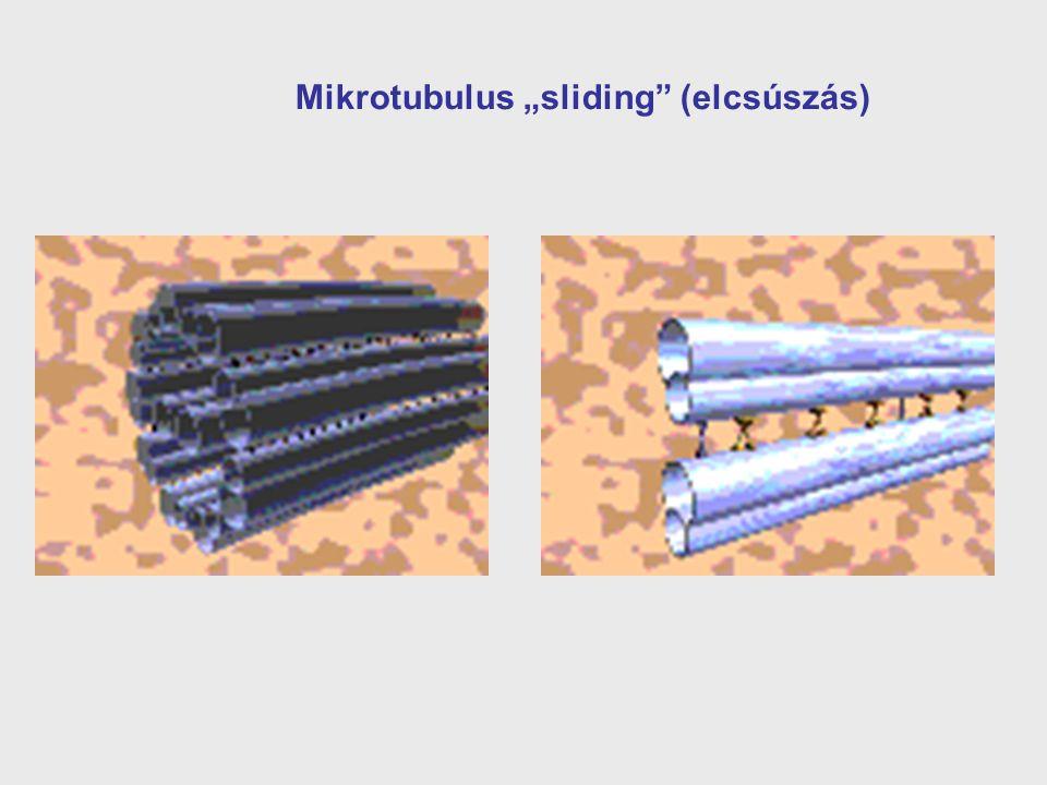 """Mikrotubulus """"sliding (elcsúszás)"""