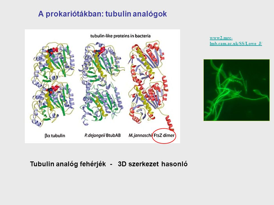 A prokariótákban: tubulin analógok
