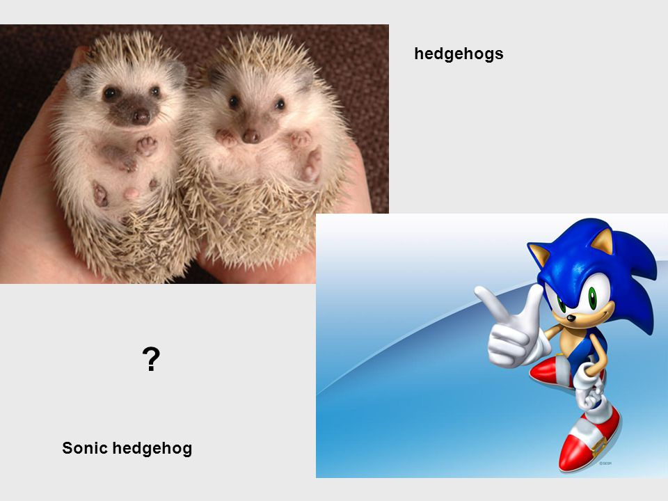 hedgehogs Sonic hedgehog
