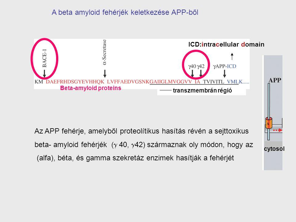 A beta amyloid fehérjék keletkezése APP-ből