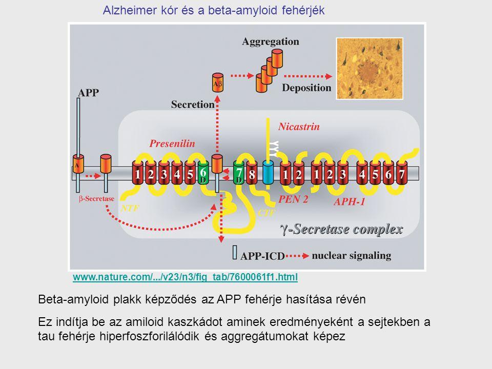 Alzheimer kór és a beta-amyloid fehérjék