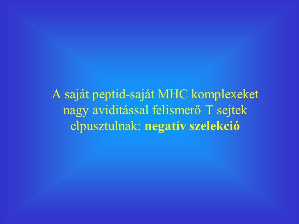 A saját peptid-saját MHC komplexeket nagy aviditással felismerő T sejtek elpusztulnak: negatív szelekció