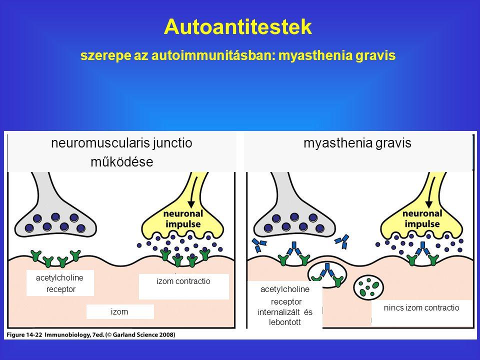 szerepe az autoimmunitásban: myasthenia gravis