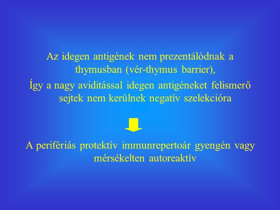 Az idegen antigének nem prezentálódnak a thymusban (vér-thymus barrier),
