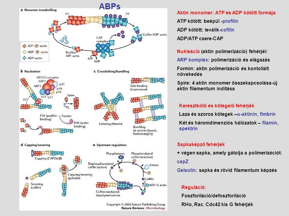ABPs Aktin monomer: ATP és ADP kötött formája. ATP kötött: beépül -profilin. ADP kötött: leválik-cofilin.