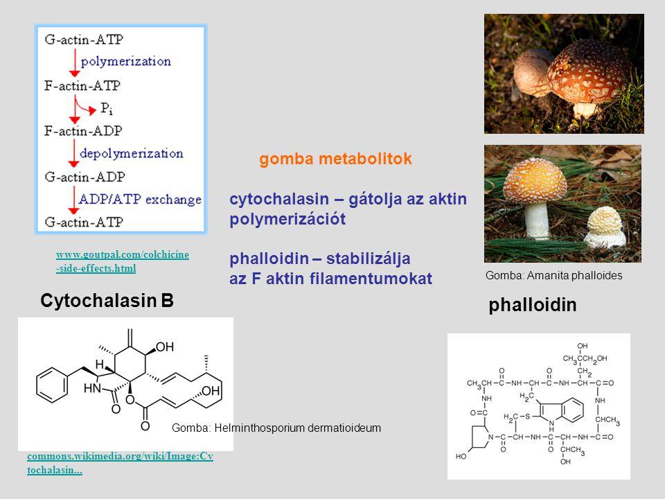 phalloidin Cytochalasin B gomba metabolitok