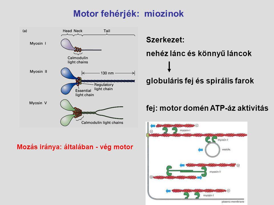 Motor fehérjék: miozinok