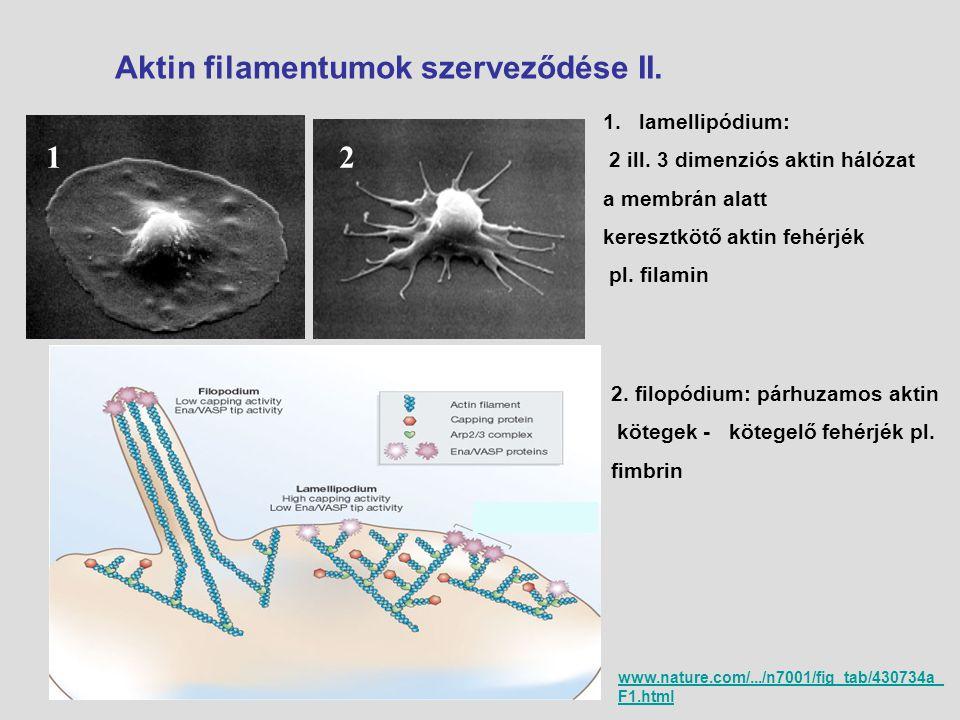 1 2 Aktin filamentumok szerveződése II. lamellipódium: