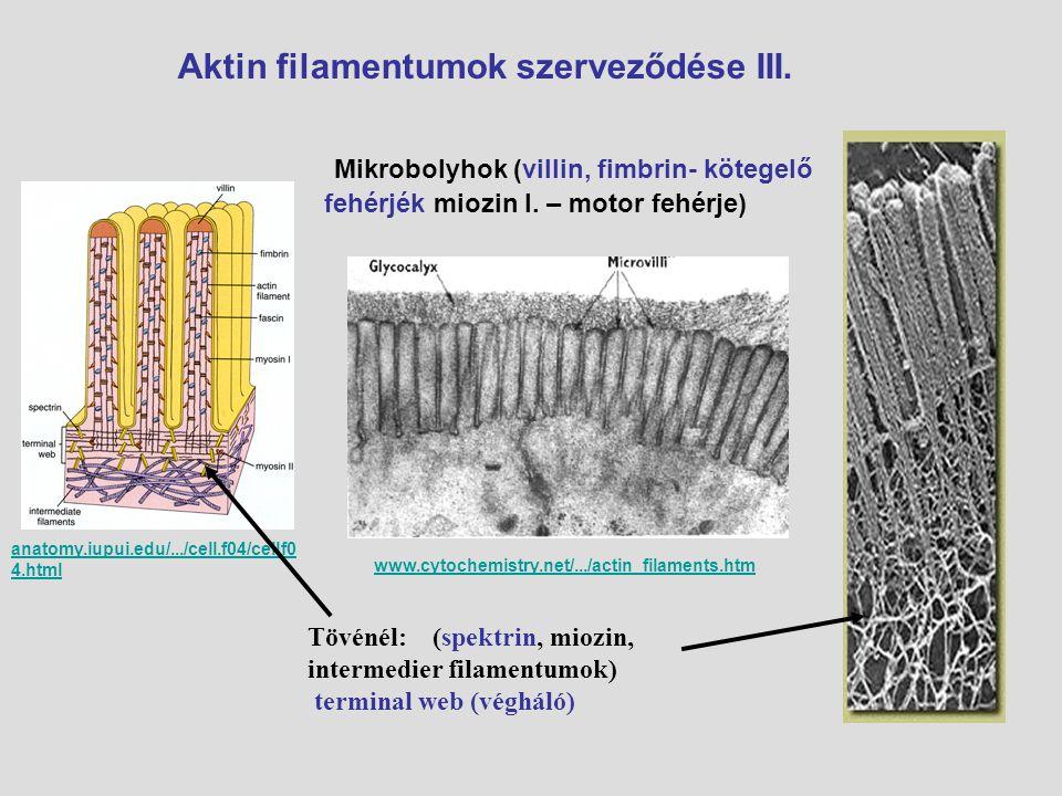 Aktin filamentumok szerveződése III.