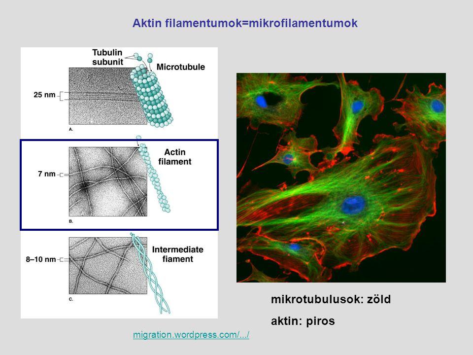 Aktin filamentumok=mikrofilamentumok