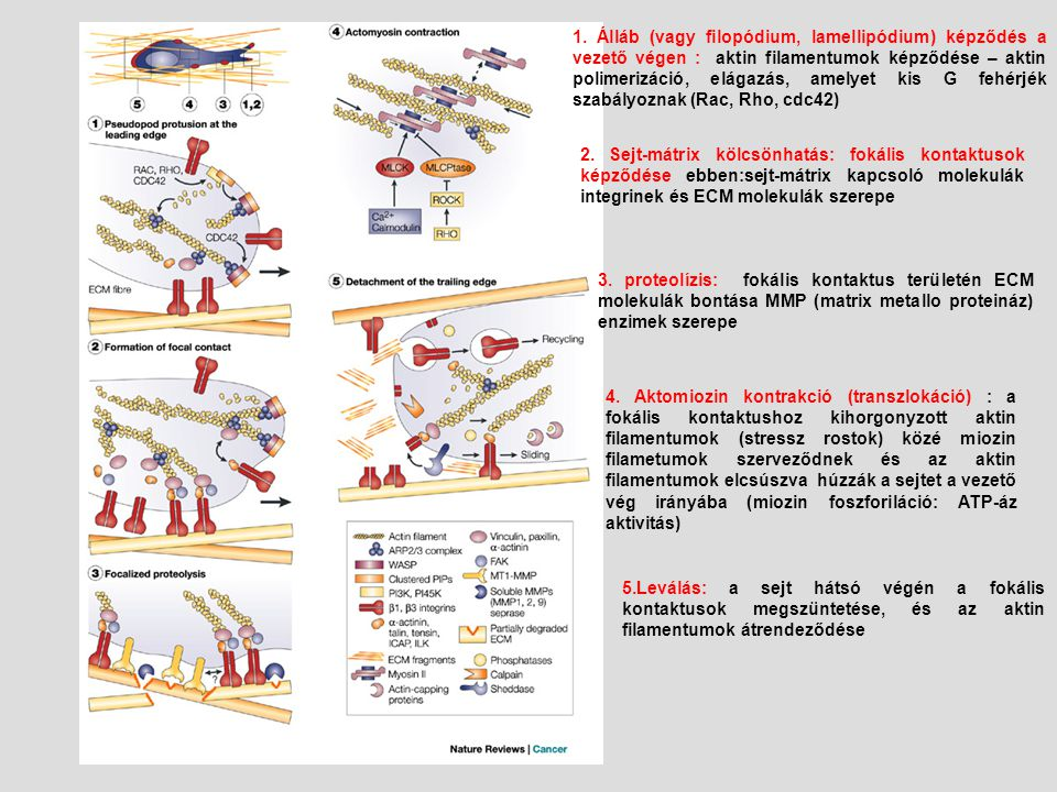 1. Álláb (vagy filopódium, lamellipódium) képződés a vezető végen : aktin filamentumok képződése – aktin polimerizáció, elágazás, amelyet kis G fehérjék szabályoznak (Rac, Rho, cdc42)