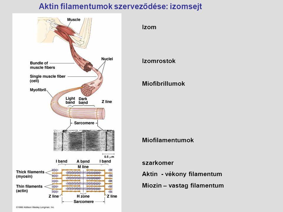 Aktin filamentumok szerveződése: izomsejt