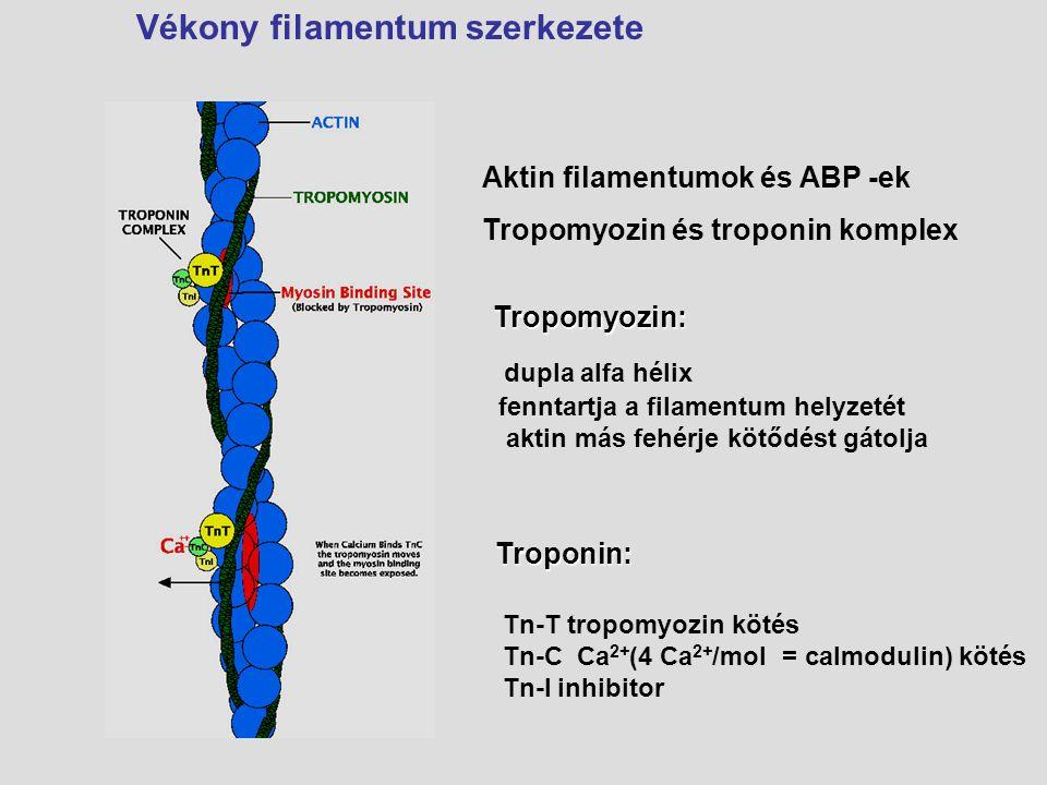 Vékony filamentum szerkezete