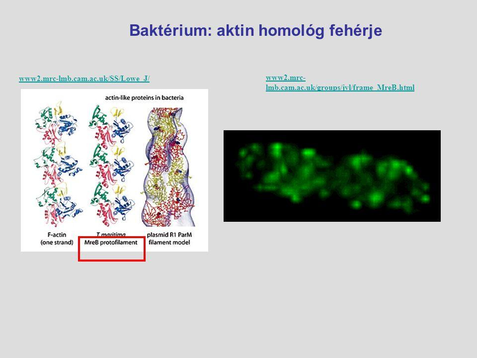 Baktérium: aktin homológ fehérje