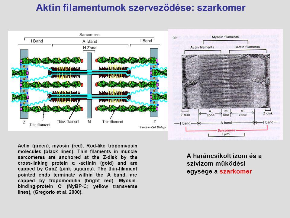 Aktin filamentumok szerveződése: szarkomer