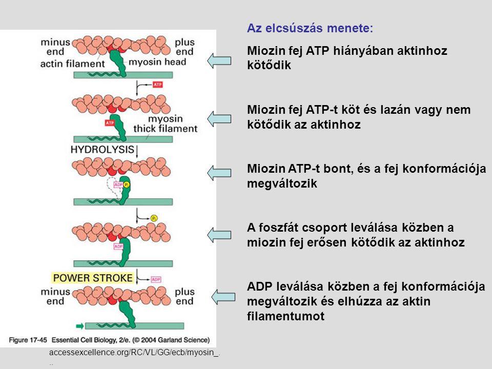Miozin fej ATP hiányában aktinhoz kötődik