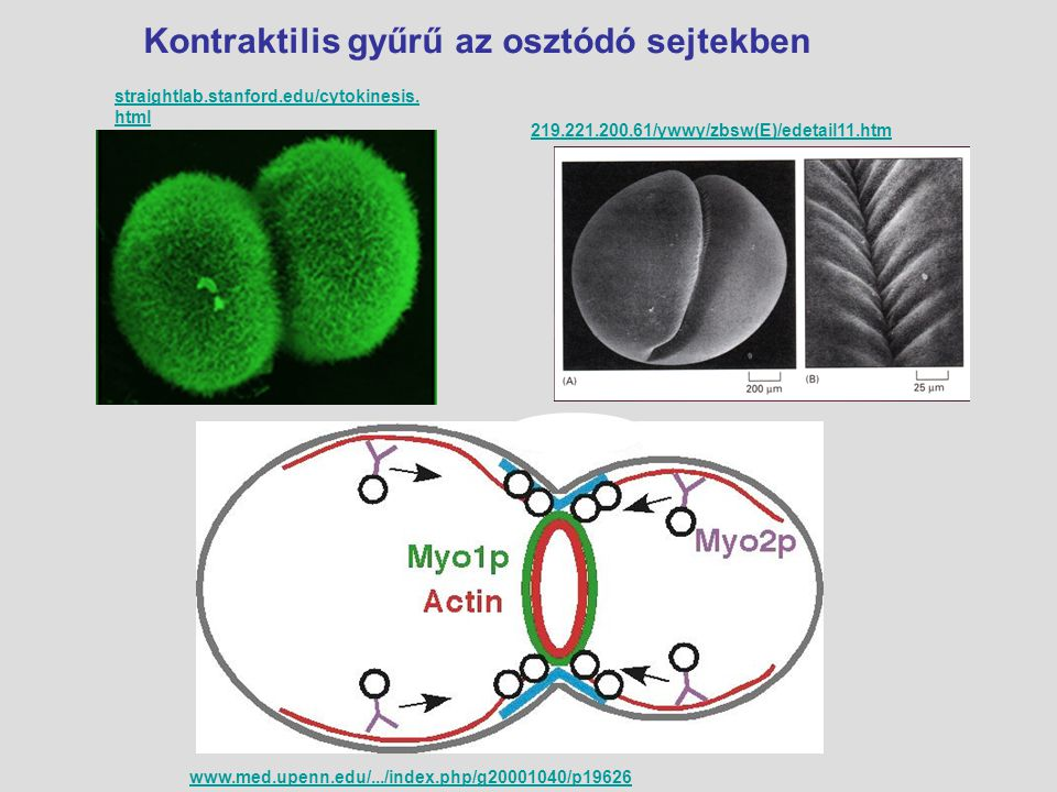 Kontraktilis gyűrű az osztódó sejtekben